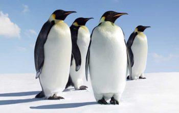 curiosidades pinguinos