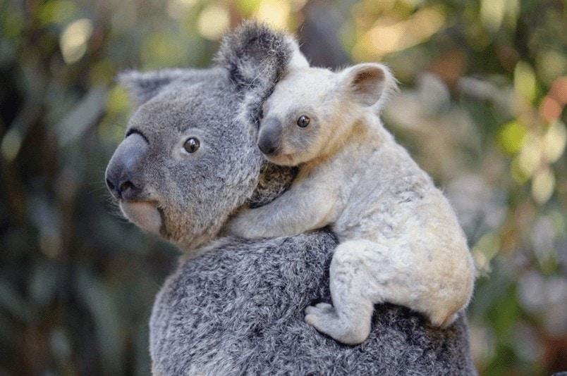 curiosidades de los koalas