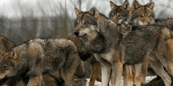 curiosidades de los lobos