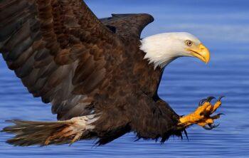 Curiosidades de las águilas