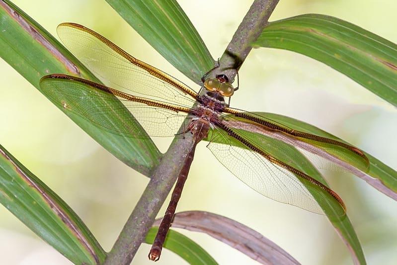 curiosidades de las libélulas