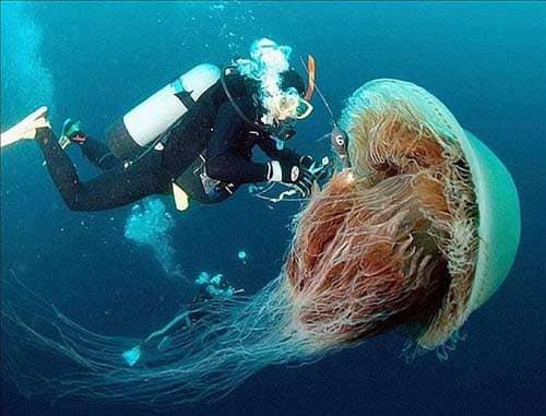Curiosidades de las medusas